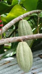 Theobroma Cacao Beans